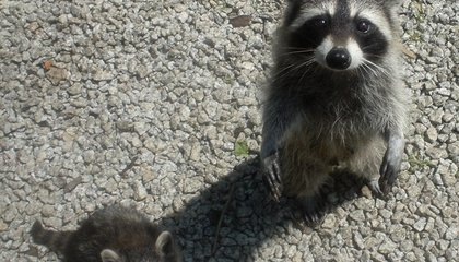 Raccoons Are Getting Brain Cancer From a Previously Unknown Virus