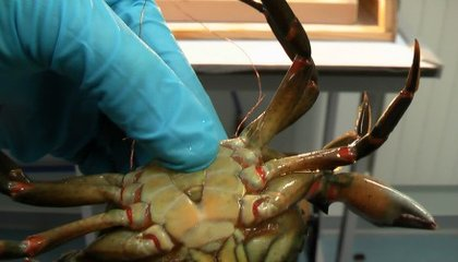 New Study Suggests Crabs Can Feel Pain After All