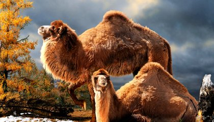 2000-Pound Camels Used to Live in the Arctic