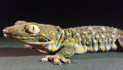 Why Geckos Don't Slip Off Wet Jungle Leaves or Hotel Ceilings