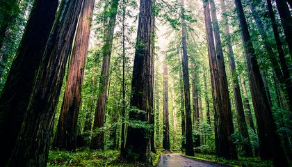 Can Cloning Giant Redwoods Save the Planet?