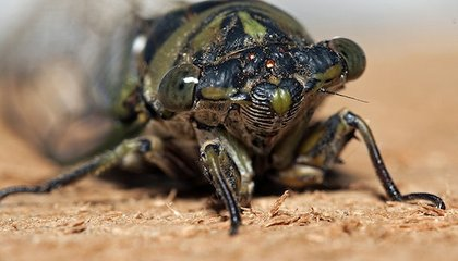 The Cicadas are Coming, And So Are the Terrifying Spores That Eat Them Alive
