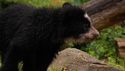 PHOTOS Baby's First Romp: Andean Cubs Play in the Rain