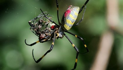 Sometimes Male Spiders Eat Their Mates, Too