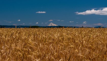 Where Will Japan Get Wheat Now That It's Rejecting America's GMO-Tainted Crops?