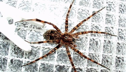 Sex Itself is Deadly for These Poor Little Male Spiders