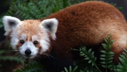 UPDATE: Red Panda Found After It Escaped from Its Enclosure