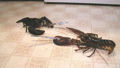 Climate Change Is Creating Cannibal Lobsters