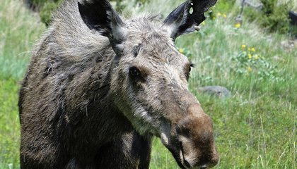 Why Are Norway's Moose Balding?