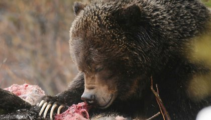 It's a Bear-Eat-Bear World Out There, Literally