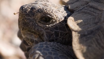 The Housing Bubble's Latest Victims Are Doomed Desert Tortoises