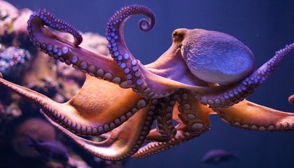 Severed Octopus Arms Have a Mind of Their Own
