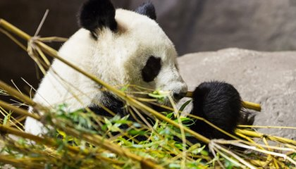Could Panda Poop Be the Secret to More Efficient Biofuel?