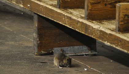 How Many Diseases Can a New York City Rat Give You?