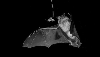 How One Moth Species Can Jam Bats' Sonar Systems