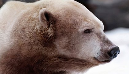 What Would a Cross Between a Polar Bear and a Grizzly Really Look Like?