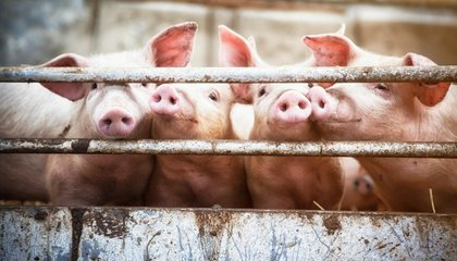 It Just Got Harder to Give Antibiotics to Farm Animals