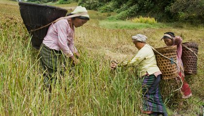This Ancient Grain May Have Helped Humans Become Farmers