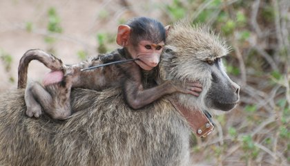 For Baboons, a Tough Childhood Can Lead to a Short Life