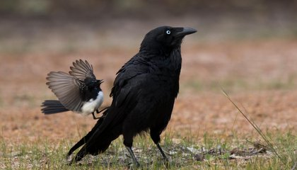 Why Do Male Birds Take on Larger Predators? Maybe Just to Impress the Ladies