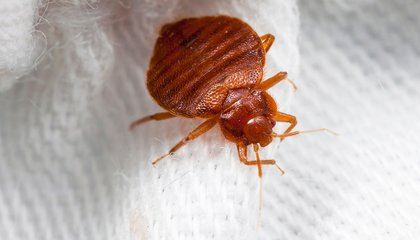 How Our Modern Lives Became Infested With Bed Bugs