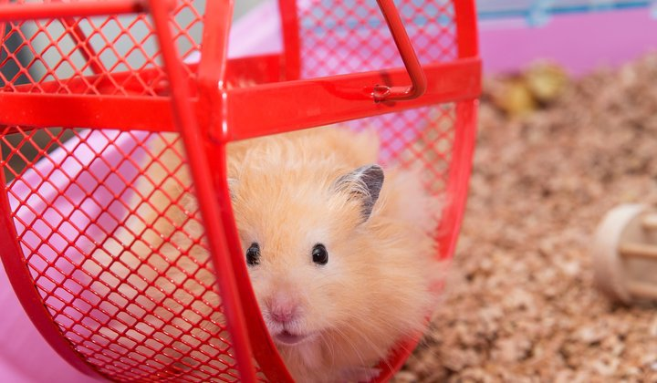Another Use for Viagra: Curing Hamster Jet Lag