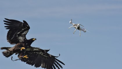 Attack of the Drone-Snatching Eagles