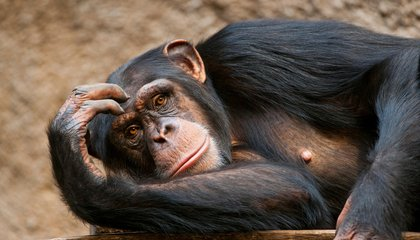West African Chimps Regularly Drink Alcoholic Palm Sap