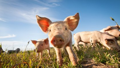 Bad News, Pet Lovers: Teacup Pigs Are a Hoax