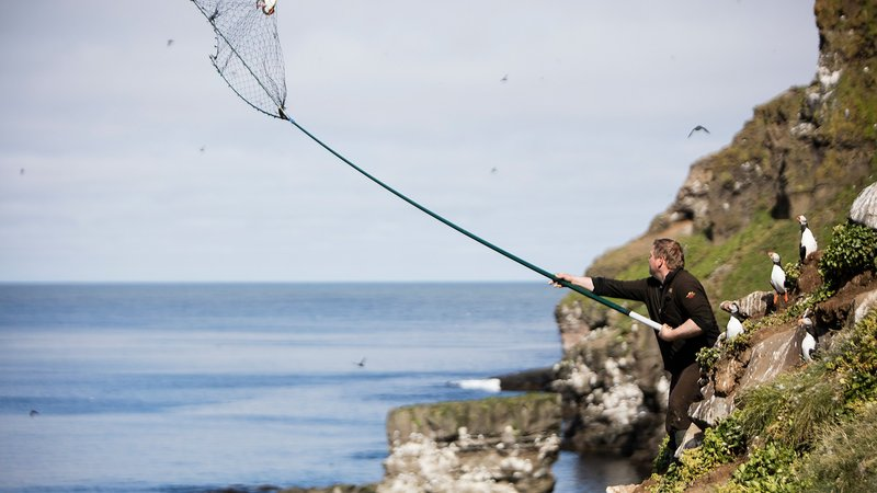 A Westman Island hunter snags an Atlantic puffin using a traditional háfur.