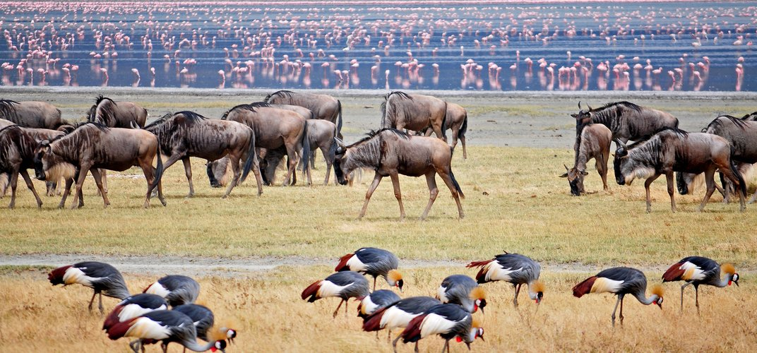 Wildebeest, cranes, and flamingos along the water, Ngorongoro Crater