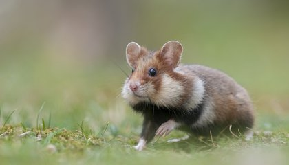 France Is Spending 3 Million Euros to Save the Great Hamster of Alsace