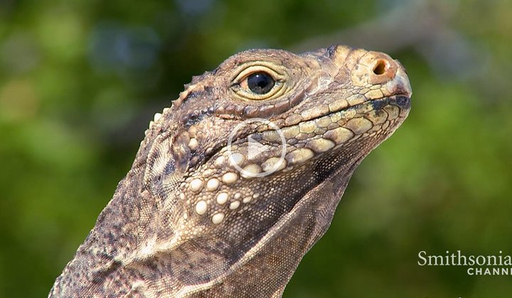 Iguanas and Giant Rodents Rule This Cuban Island