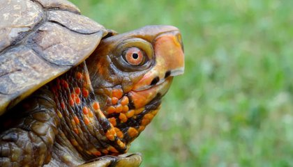 The Real Reason the Turtle Learned to Hide its Head Will Surprise You