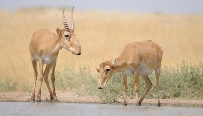 A Quarter of the World's Saiga Antelope Are Dead