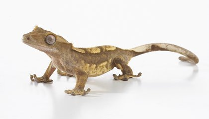 Geckos Can Control the Movement of Their Toe Hairs