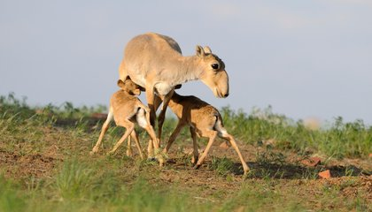 The Culprits Behind Mysterious Mass Antelope Deaths Finally Exposed