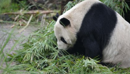 Goodbye, Pan Pan: World's Oldest Male Panda Dies