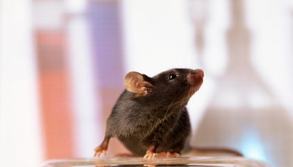 Half the Cells in This Mouse's Brain Are Human