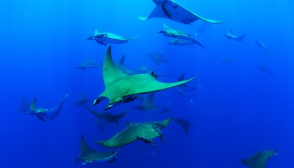 Chilean Devil Rays Found to Be Among the Deepest-Diving Animals in the Ocean