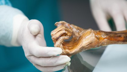 The Iceman's Stomach Bugs Offer Clues to Ancient Human Migration