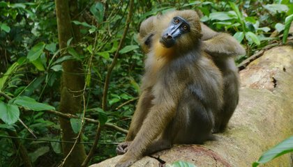 Gut Check: Mandrills Sniff Poop to Avoid Peers With Parasites