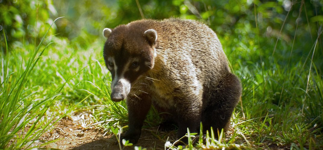 Coati found in Panama