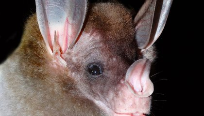 The World's Carnivorous Bats Are Emerging From the Dark