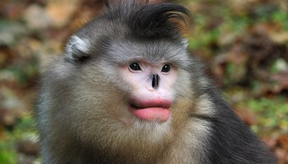 Monkeys Like Full Red Lips, Too