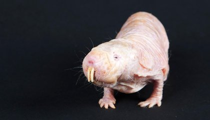 Naked Mole-Rats Can Survive For 18 Minutes Without Oxygen
