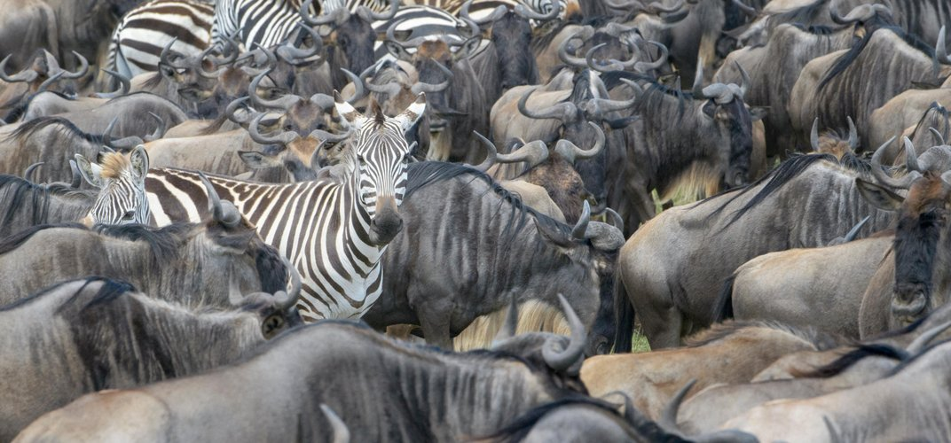 Wildebeest and zebra, the Great Migration. Credit: Andre Gilden/Alamy