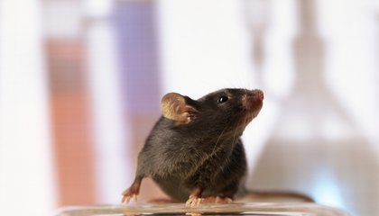 Fully Functional Thymus Grown In Mouse