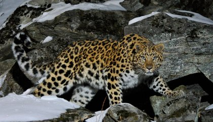China Approves Massive National Park to Protect Its Last Big Cats
