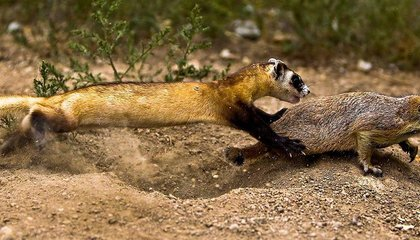 How Feeding Prairie Dogs Peanut Butter Could Help Save Ferrets from the Plague